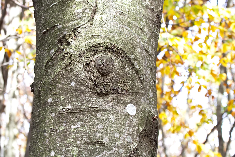 L'occhio del faggio